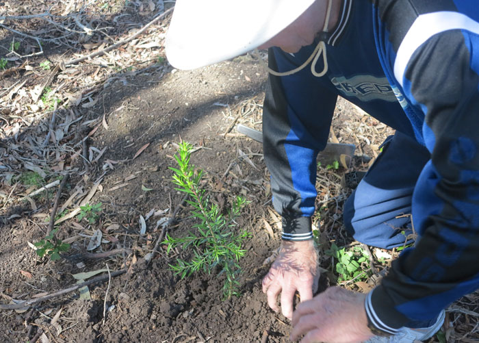 Regular Dawn Road Reserve Bushcare volunteer Leo ensures a new shrub is properly positioned and tamped down on the Dawn Road Reserve Bushcare revegetation site, which is coming along nicely as the project passes the nine-month mark.
