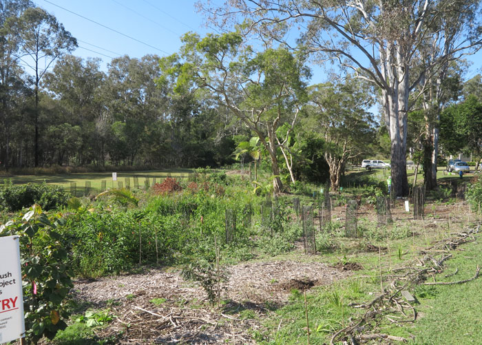 This was the Dawn Road Reserve Bushcare group's revegetation site at the beginning of the October working bee. Most of this month's plantings were on the far end of the site, on the embankment beyond the white cedar trees.