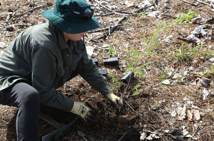 At the planting stage, Dawn Road Reserve Bushcare's Janet Mangan demonstrates how to prepare the ground and plant appropriate species for the newest revegetation site