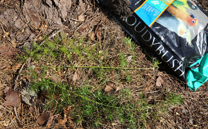 One common ground weed in this area is the asparagus fern (Asparagus aethiopicus) and the Dawn Road Reserve Bushcare team have learned how to remove it.