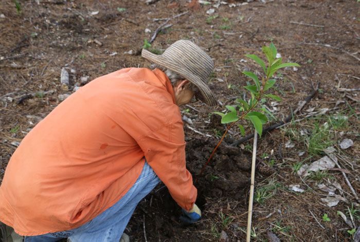 Once the plant and some fertiliser are in place, Dawn Road Bushcare volunteer Kerry backfills the soil around the base of the sapling she has planted.