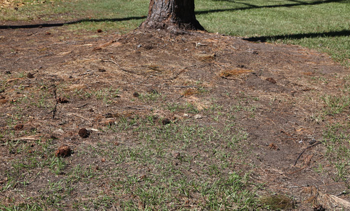 Just how barren the area around the base of a pine tree can be. Note the falling cones can also see new plants establishing with ease and the seeds can be carried into nearby bushland.