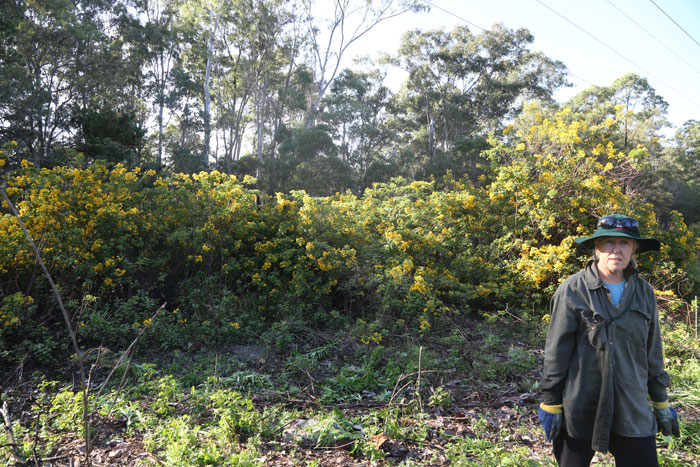 To give you some idea of how rampant the Easter Cassia (Senna pendula var. glabrata) is, here the Dawn Road Reserve Bushcare patron Janet Mangan is standing next to a small section that abuts our new revegetation patch.