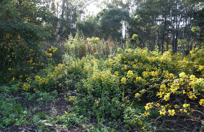 More of the invasive Easter cassia, which is in flower around this time of the year. Despite its bright yellow flowers, it is an easily spread pest species that requires constant monitoring and attention