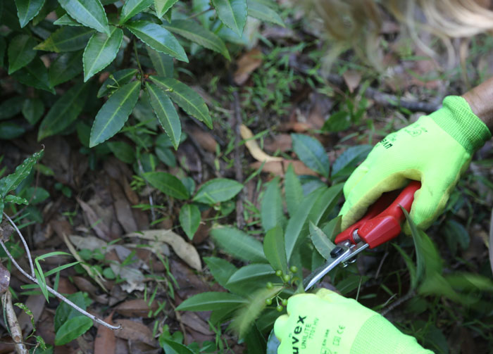 Having identified a thicket of coral berry (Ardisia crenata), volunteers set to work removing its berries and taking them off-site so it does not spread any further