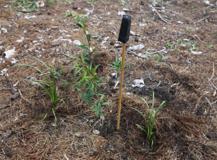 Once the new plants are in place, an empty seedling case is upturned on a stake to indicate the new plant is yet to be watered