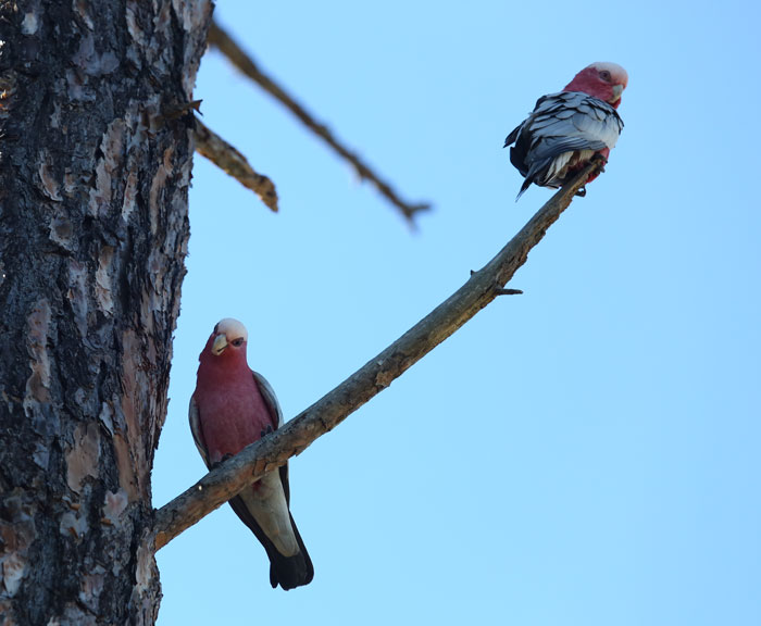 The curious pair of galahs were perched on a dead branch of a pine tree, watching over the volunteers.
