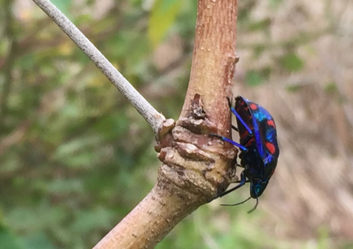 The gloriously patterned hibiscus harlequin bug, side-on.