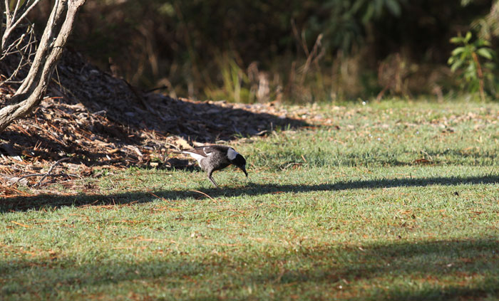 A juvenile magpie feeds on some tasty morsel along the grassy edge of the newest revegetation zone.