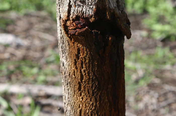 Look very carefully and you might just see the tiny native bee heading for this protective notch in a small tree at the southern end of the new revegetation site.