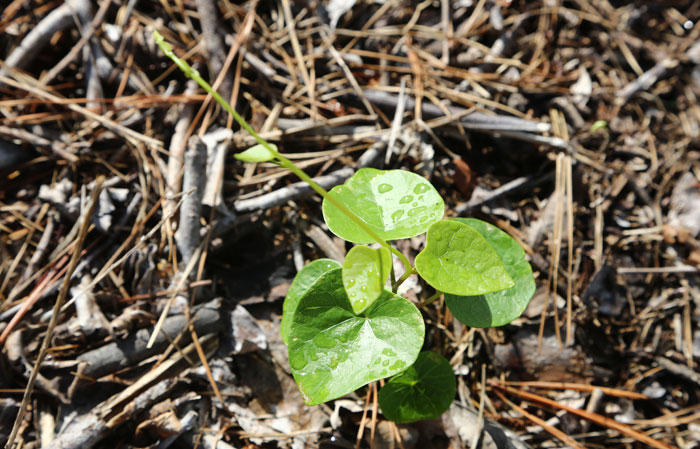 The beneficial native vine Stephania japonica - or snake vine - has already begun to thrive on the new revegetation patch.