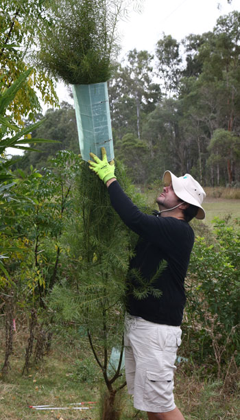 It helps if you're tall! Visiting volunteer Christian Perrin carefully removes the guard with minimal disruption to this healthy plant