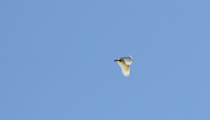 A noisy but graceful sulphur-crested cockatoo (Cacatua galerita) passes overhead.