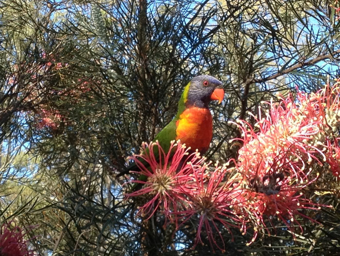 [FILE PHOTO] Rainbow lorikeets (Trichoglossus haematodus) are a common sight in and around the Dawn Road Reserve