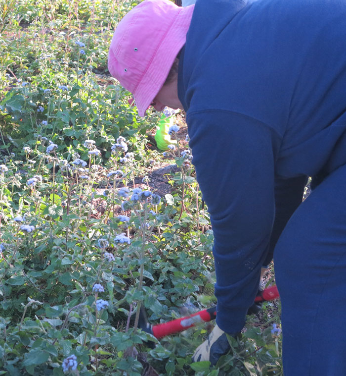 A new Dawn Road Reserve Bushcare volunteer works on removing billy goat weed (Ageratum houstonianum).