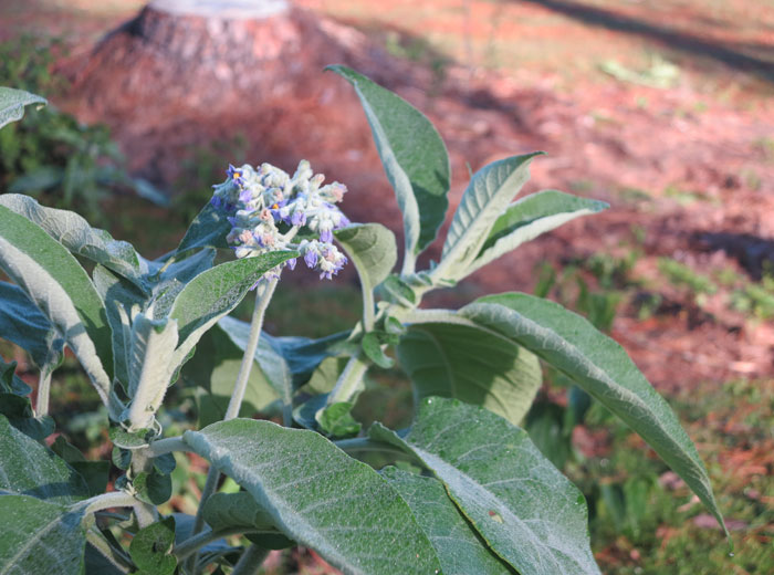 Wild tobacco (Solanum mauritianum) in flower and glistening in the early morning light. Pic: Trina McLellan