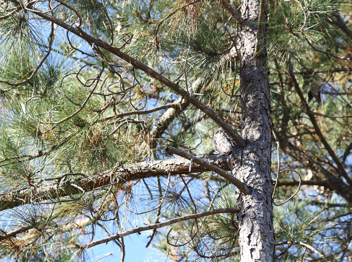 Can you see the tawny frogmouth (Podargus strigoides) camouflaged in the crook of this tree?