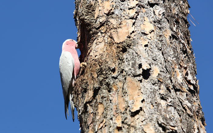 A close-up of the busy galah at work on the side of the pine tree.