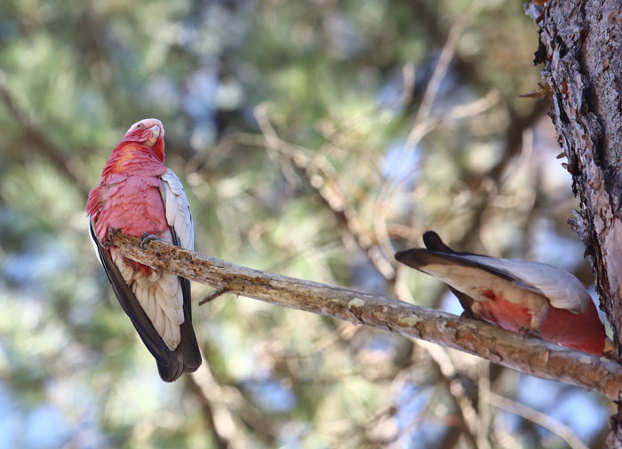 The pink and grey underbelly of the two galahs were as pretty as their upper plumage