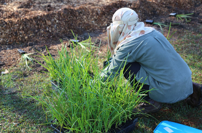 The plant chosen by Dawn Road Reserve Bushcare patron Janet Mangan to define the mowing edge of this regeneration patch is the grassy creek mat rush (Lomandra hystrix).