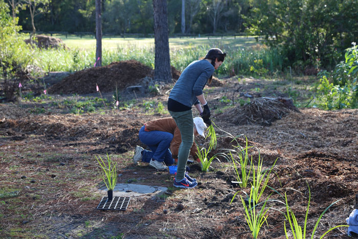 Volunteers Vanessa and Kerry carefully place the creek mat rush (Lomandra hystrix) in the pre-dug holes about 75cm apart, just inside the mowing edge of the new regeneration zone