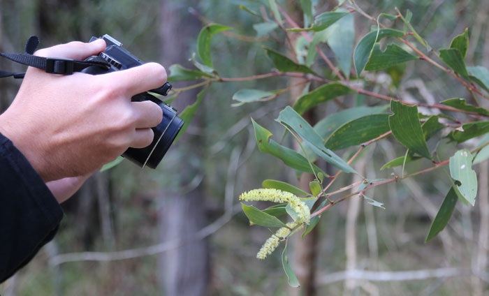 Photographing flowering plants and wildlife is more than a hobby for Wild BNE's Christian Perrin. Here he's capturing the early blooms on a black wattle (possibly Acacia concurrens)