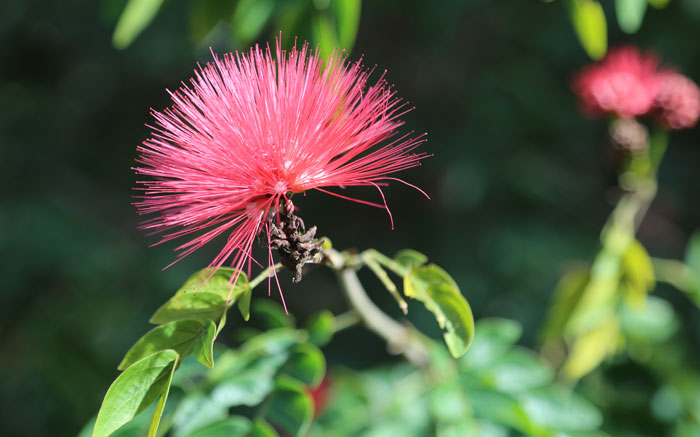 Another garden variety plant known as a powder puff tree (Calliandra haematocephala) has been introduced on the southern boundary track. It has spectacular flowers that bloom into dense reddish-pink hemispheres.