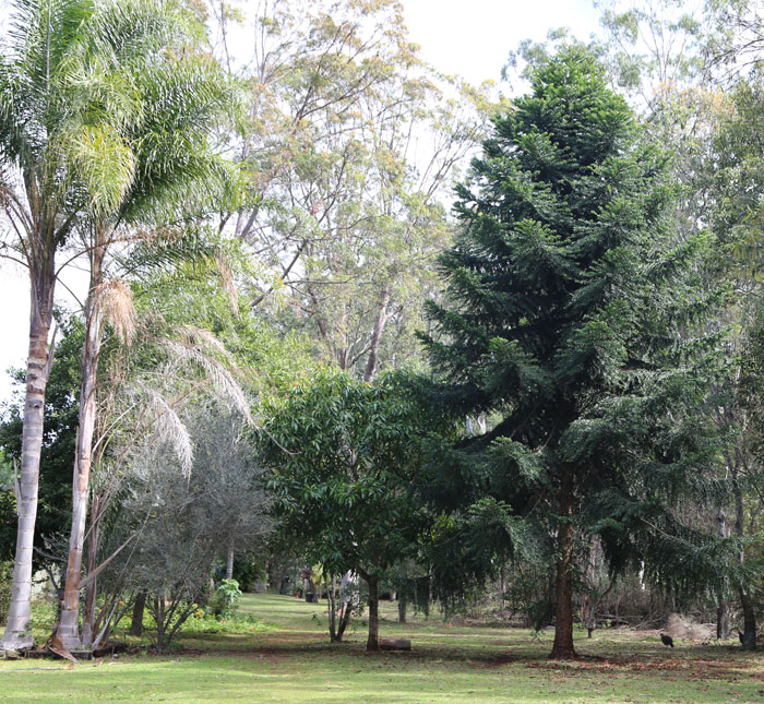 While there is no immediate danger from the Bunya pine, other non-native species around it are already problematic, including the palm trees on the left (birds love their fruit and spread seeds widely) and the mango tree, which – while only relatively small – still harbours mosquitoes and will, in time, like the Bunya pine, grow quite large.