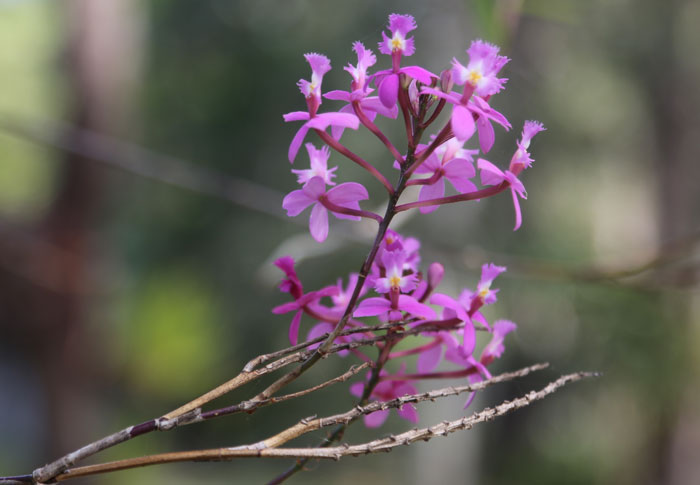 The buffer zone along the southern boundary of the Dawn Road Reserve is home to a number of introduced exotic species, some of which pose no real harm to the bushland. This pretty pink Epidendrum orchid, for example, is growing on the side of a gum tree in the middle of the buffer's walking track.