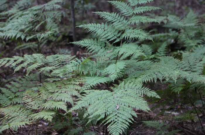 With erect, stiff green fronds up to 1.5 m high, the bracken fern has an extensive, spreading root system, with underground stems that form a vast network in the soil and give rise to new shoots. This weed needs constant moisture to continually regenerate