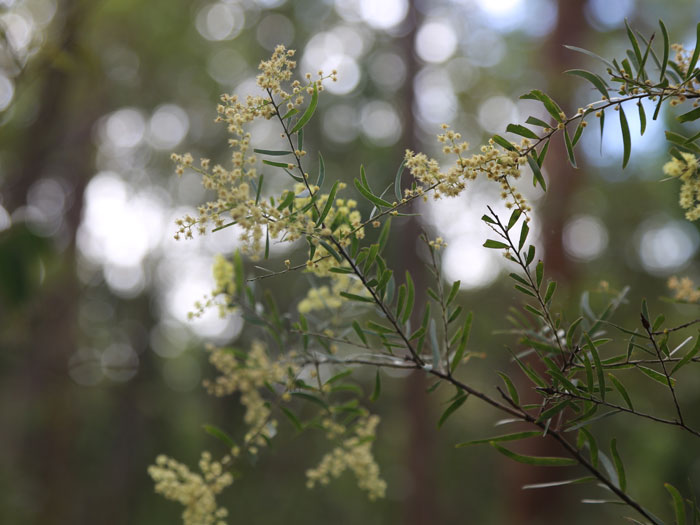 With its yellow perfumed ball-shaped flowers appearing in late winter and spring, the Brisbane wattle (Acacia fimbriata) can be found in riparian (streamside) areas of the Dawn Road Reserve.