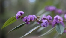 A close-up of the pretty hovea (Hovea acutifolia) in bloom in the Dawn Road Reserve