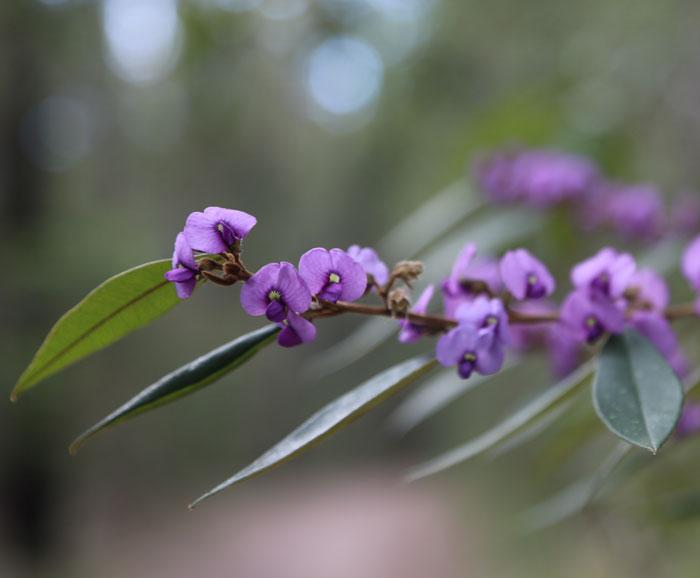 A close-up of the pretty hovea (Hovea acutifolia) in bloom in the Dawn Road Reserve