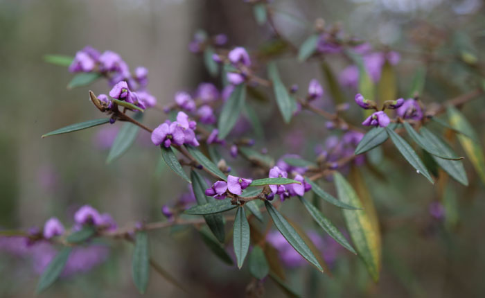 A different view of the hovea (Hovea acutifolia) that gives a better view of its narrow leaves. Pic: Trina McLellan