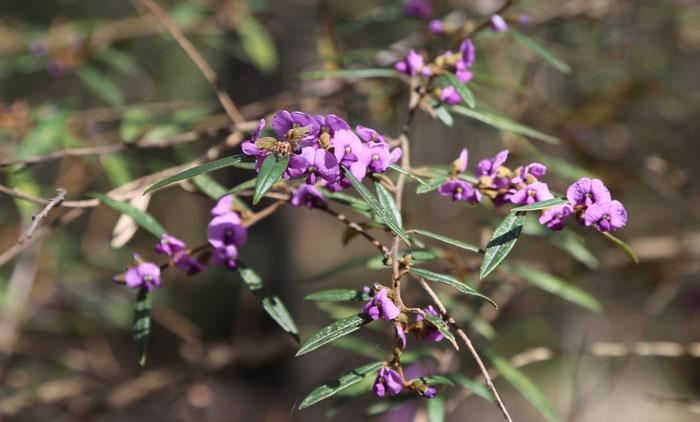 Sun-kissed branches of the purple-flowering hovea (Hovea acutifolia).