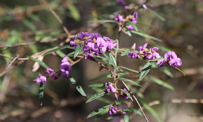Sun-kissed branches of the purple-flowering hovea (Hovea acutifolia).