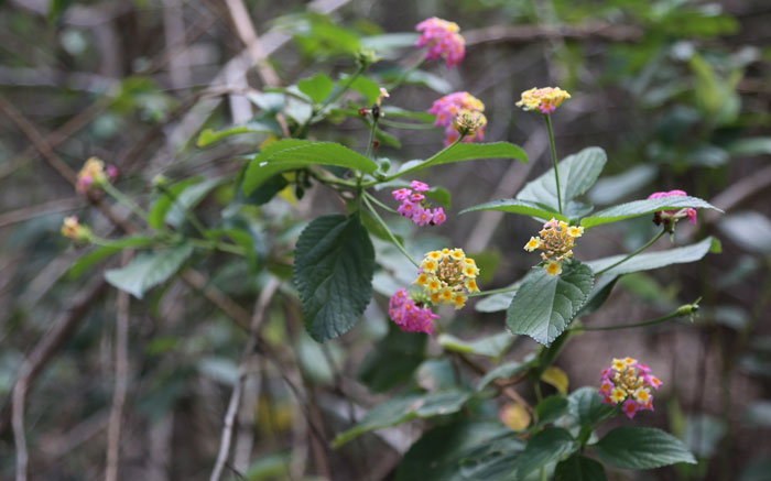 Up close and personal with flowering lantana (Lantana camara), which appears in most sections of the Dawn Road Reserve, sometimes as thickets. While this weed is not too difficult to remove by hand, when it forms a dense thicket, it is often left in place to provide shelter for small animals.