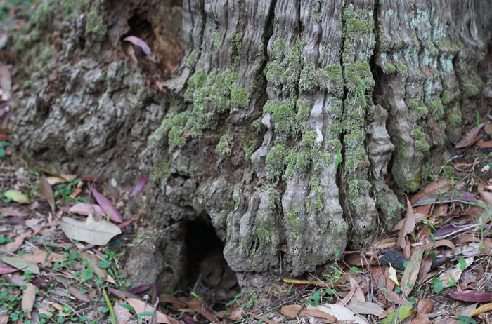 Then there are mosses that grow up the sides of trees and stumps of dead trees. This stump's ground-level hole is probably the front door to a perfectly safe hiding place for a small animal.