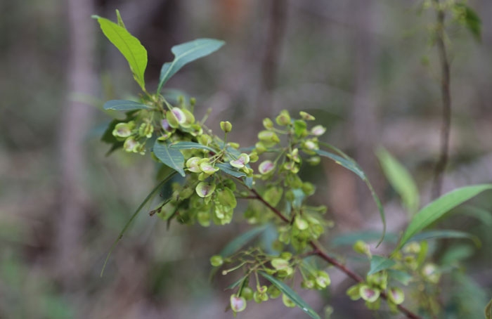 The forest hop bush (Dodonaea triquetra) shrub, a popular host plant for fiery jewel (Hypochrysops ignite) butterflies, has distinctive clumps of triangular, pale green and purple capsules that house its seeds.